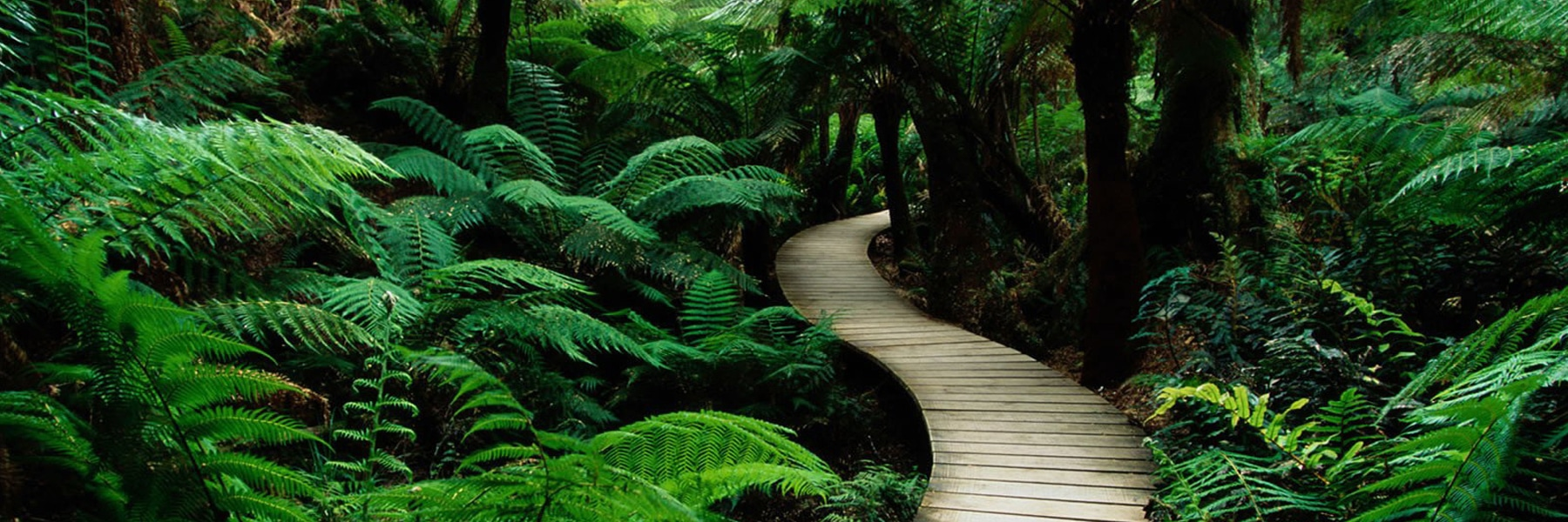 Winding wooden path through the jungle